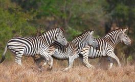 Kudde van zebras (Afrikaanse Equids) stock fotografie