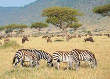 Kudde van zebras (Afrikaanse Equids) Royalty-vrije Stock Foto's