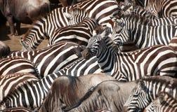 Kudde van zebras (Afrikaanse Equids) Royalty-vrije Stock Afbeeldingen