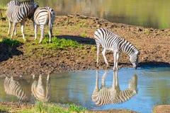Kudde van Zebras-het drinken van Shingwedzi-rivier stock foto's