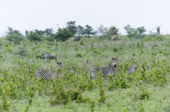Kudde van zebras in Selous Stock Foto