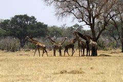 Kudde van Zuidelijke Giraffen Met een netvormig patroon royalty-vrije stock foto
