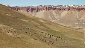Kudde van zwarte dieren in de woestijn stock footage