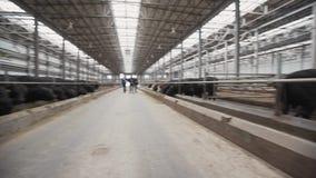 Kudde van zwarte koeien die hooi van stal eten bij de schuur van het landbouwbedrijfmetaal stock videobeelden