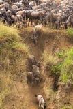 Kudden van het meest wildebeest op Mara River Het begin van een grote migratie Kenia, Afrika Stock Foto's