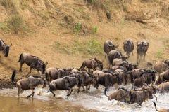Kudden van het meest wildebeest op Mara River Kenia, Afrika Royalty-vrije Stock Foto's