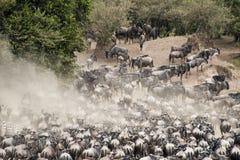 Kudden van Wildebeest in Grote Migratie, Kenia stock foto's
