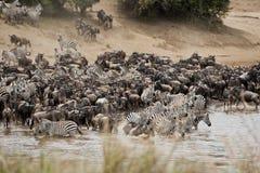 Kudden van Zebra en Wildebeest op Mara River, Kenia stock afbeeldingen