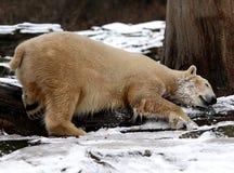 Kuddling icebaer Lizenzfreie Stockfotos