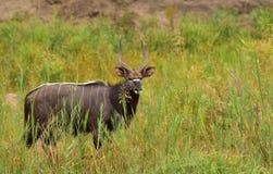 Kudo в траве Стоковое Фото