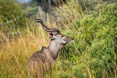 kudu公牛哺养 免版税图库摄影