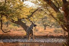 Kudu公牛喝 库存图片