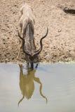 Kudu公牛饮用水 库存图片