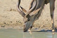 Kudu公牛-完美特写镜头  免版税图库摄影