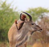 Kudu公牛-年轻人的纵向 图库摄影