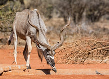 Kudu公牛 免版税库存图片