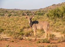 Kudu公牛 库存图片