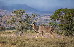 Kudu公牛 库存照片