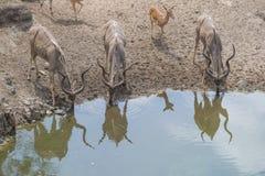 Kudu和飞羚在水坝 免版税库存图片