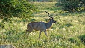 kudu大型装配架 免版税库存照片