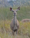 Kudu女性看的照相机 库存图片