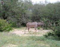 Kudu察觉了 免版税库存照片