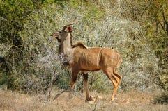 kudu弯角羚类非洲羚羊类 图库摄影