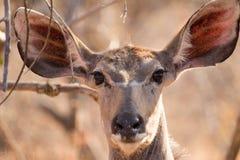 Kudu所有耳朵 库存照片