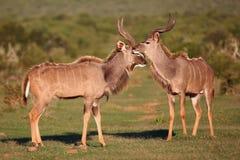 Kudu羚羊会议 免版税库存照片