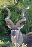 Kudu羚羊画象 免版税库存图片