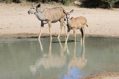 Kudu羚羊-非洲妈妈、反射和野生生物 库存照片