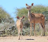 Kudu羚羊-非洲妈妈和野生生物 免版税库存照片