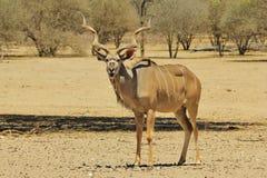 Kudu羚羊-从非洲的野生生物背景-敬畏开放嘴滑稽的自然的 免版税库存照片