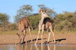 Kudu羚羊-从非洲的野生生物-浇灌战术 库存图片