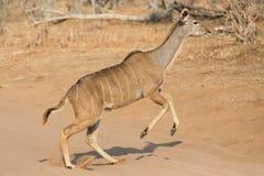 Kudu羚羊 图库摄影