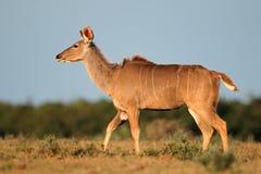 Kudu羚羊 库存图片
