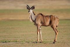 Kudu羚羊 库存照片