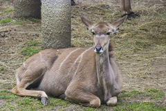 Kudu羚羊 免版税图库摄影