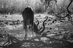 Kudu羚羊 免版税库存照片