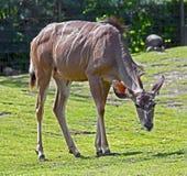 kudu较少 免版税库存图片