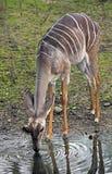 kudu较少 免版税图库摄影