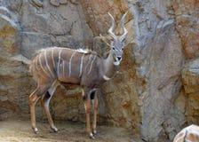 kudu较少 免版税库存照片