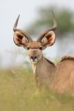 kudu αντιλοπών Στοκ Φωτογραφία