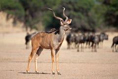 kudu αντιλοπών Στοκ εικόνες με δικαίωμα ελεύθερης χρήσης