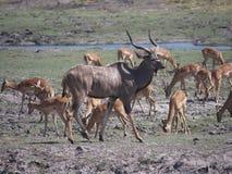 Kudu και impala στο εθνικό πάρκο Chobe Στοκ Εικόνα