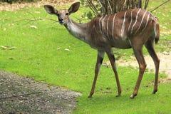 kudu μικρότερος Στοκ φωτογραφία με δικαίωμα ελεύθερης χρήσης