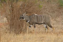 kudu μικρότερο tragelaphus Στοκ εικόνες με δικαίωμα ελεύθερης χρήσης