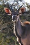 kudu Ναμίμπια Στοκ φωτογραφίες με δικαίωμα ελεύθερης χρήσης