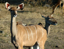 Kudu - ποταμός Chobe στοκ εικόνες