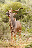 Kudu που σπάζει ένα φύλλο από το δέντρο Στοκ φωτογραφία με δικαίωμα ελεύθερης χρήσης